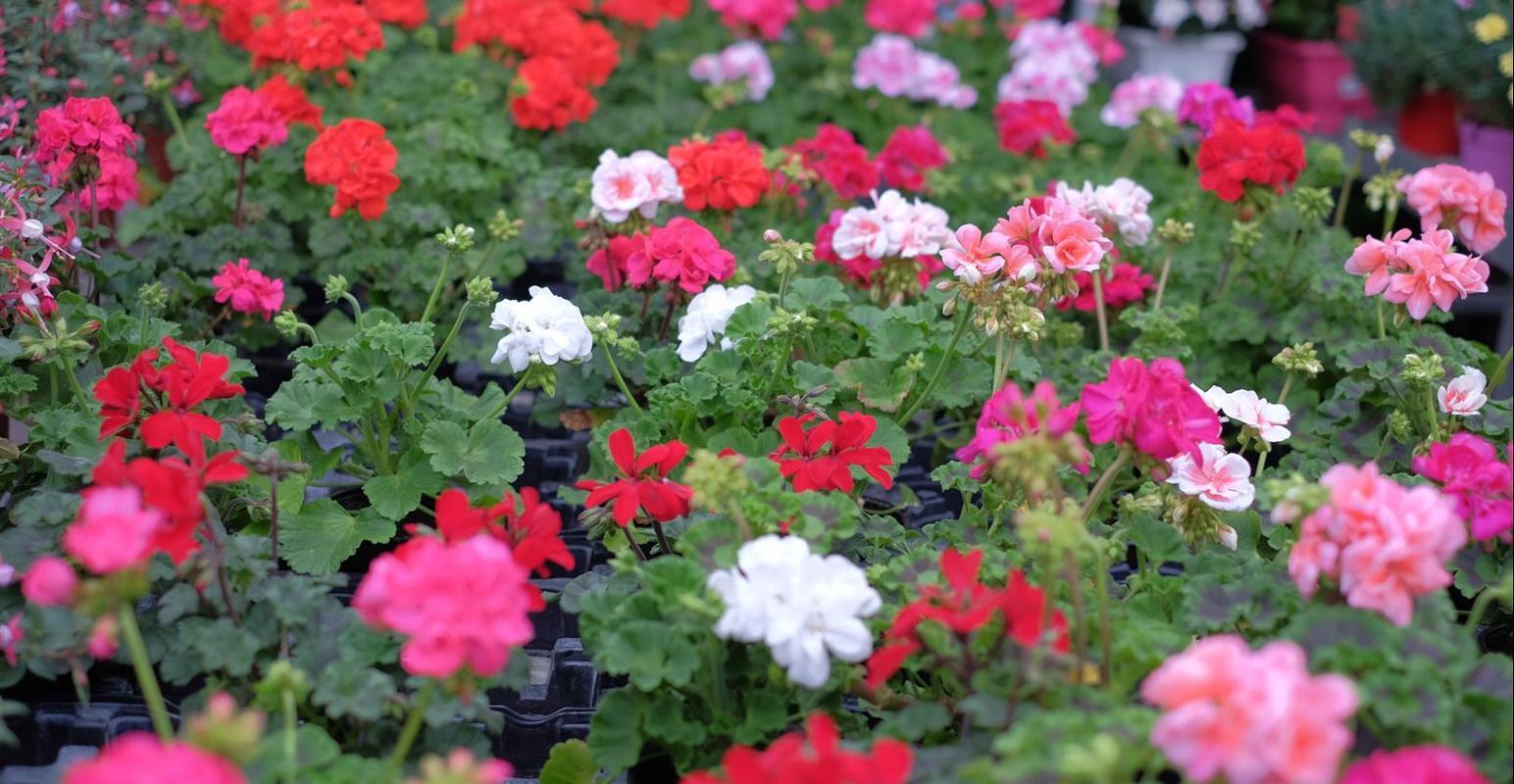 Grossiste fleurs Chambéry, grossiste plantes Chambéry,