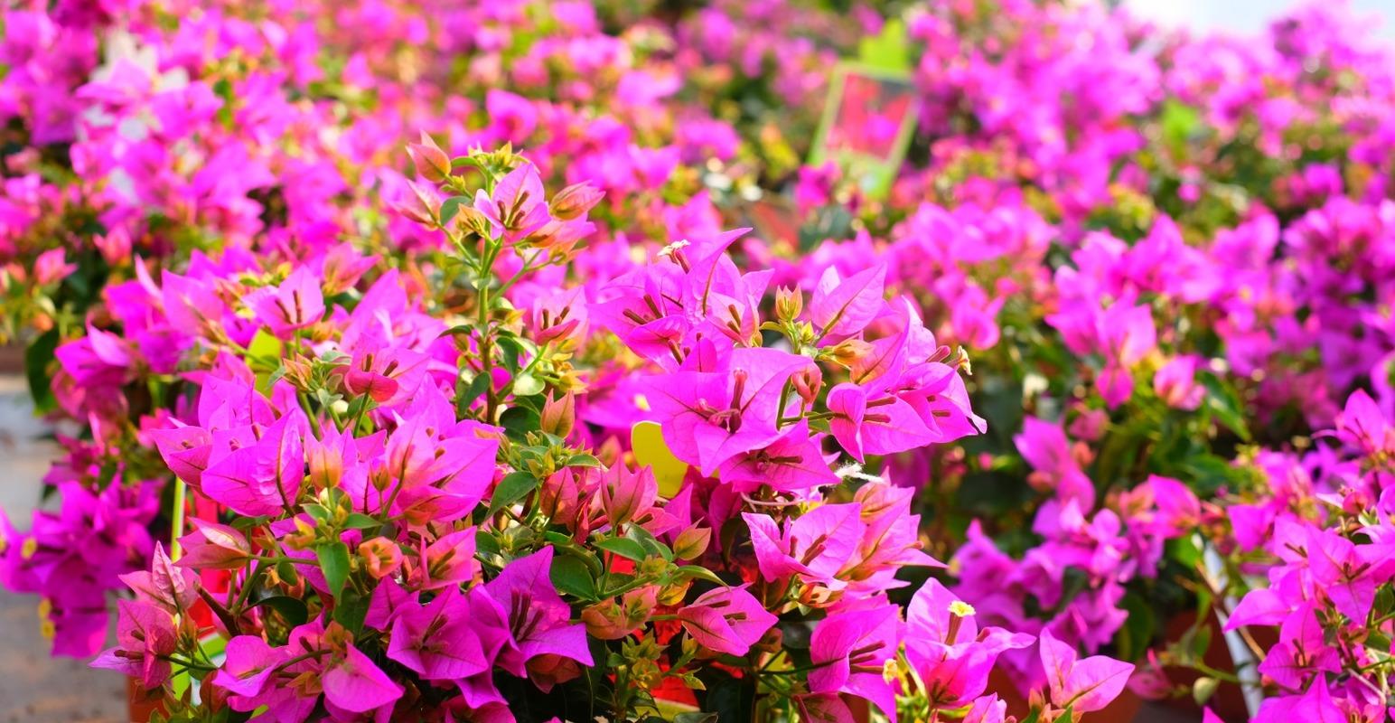 Grossiste fleurs Annecy, grossiste plantes Annecy,